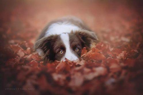 Обои Пес лежит в осенней листве и смотрит на нас, by Anne Geier