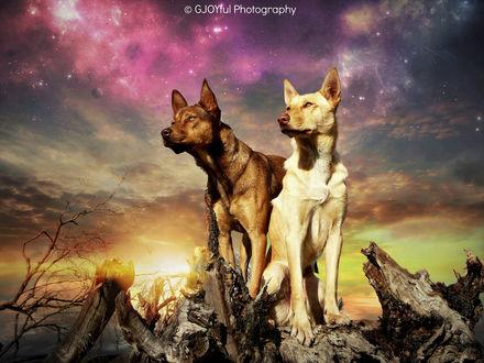 Обои Собаки у кусков сухого дерева на фоне красочного неба