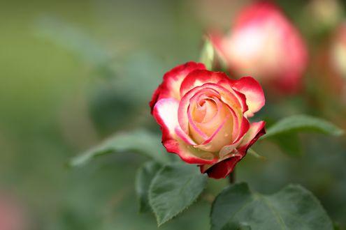 Обои Бутон бело-красной розы на размытом зеленом фоне