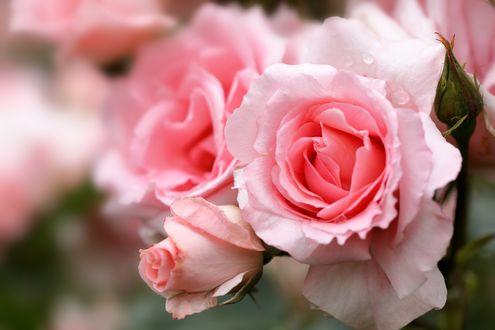 Обои Розовые розы на размытом фоне