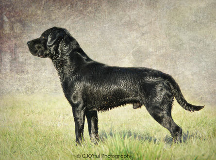 Обои Черная собака на прогулке