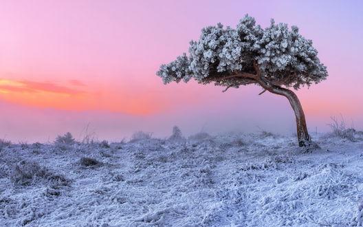 Обои Покрытое снегом дерево на затуманенном зимнем поле на фоне багрового неба