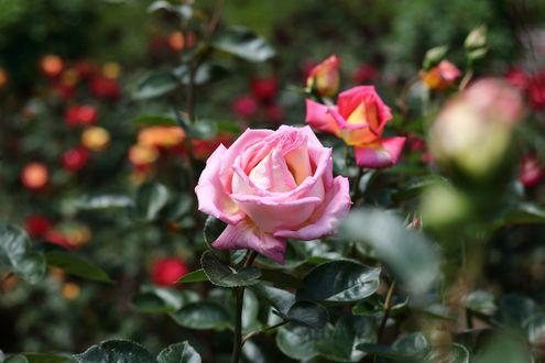 Обои Розовые розы на размытом фоне, by takuyahigashi722