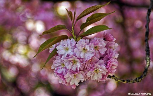 Обои Весенняя цветущая ветка, фотограф Michael Reichardt
