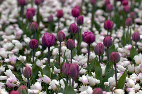 Обои Весенние сиреневые и белые тюльпаны, фотограф Sonata Zemgulienе
