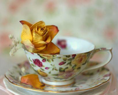 Обои Роза в чашке на блюдце, фотограф Sonata Zemgulienе