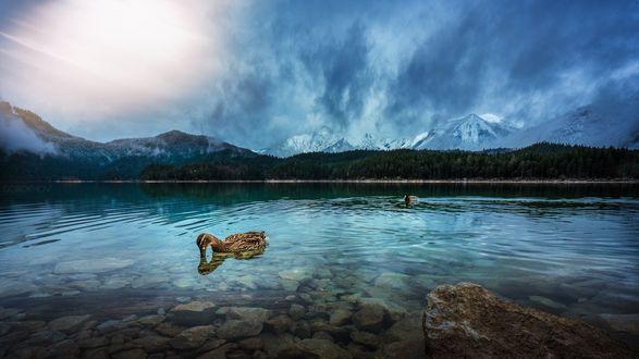 Обои Дикие утки на небольшом озере у леса