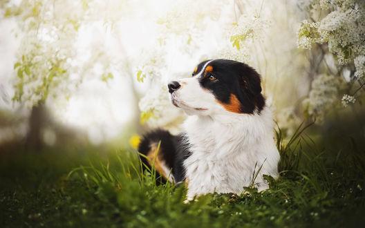 Обои Собака лежит на траве, размытый фон