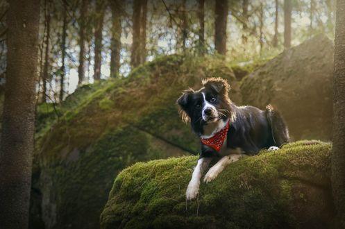 Обои Собака породы бордер-колли лежит на камне, покрытом мхом