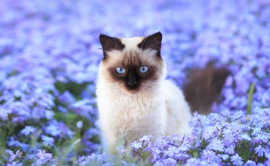 Обои Сиамский кот на цветочной поляне