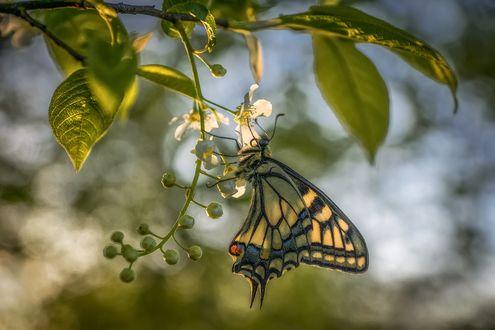Обои Бабочка на весеннем цветке, фотограф Анатолич