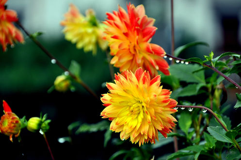 Обои Красивые желто-оранжевые цветы в каплях росы среди сочной зелени