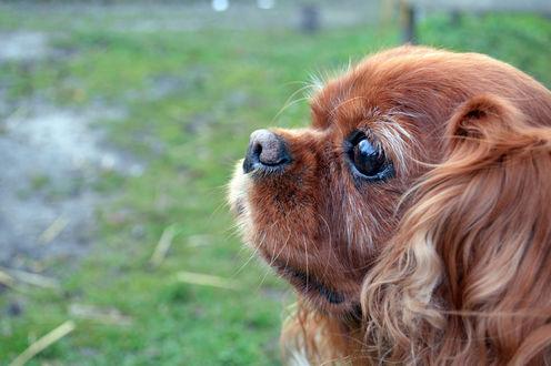 Обои Мордочка собаки породы Кинг чарльз спаниель на фоне природы