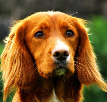 Обои Морда собаки, размытый фон, by Kells Camera Clubs