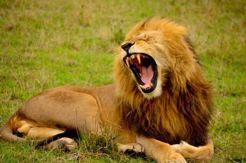 Обои Широко зевающий лев лежит на траве, by Lemuel Butler