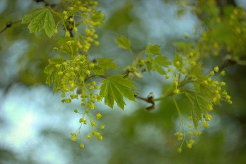 Обои Зеленые листочки на ветке, фотограф Sonata Zemgulienе