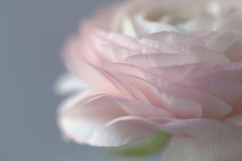 Обои Нежная розовая роза, фотограф Sonata Zemgulienе