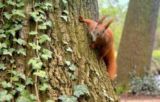Обои Белочка на дереве, фотограф Sonata Zemgulienе
