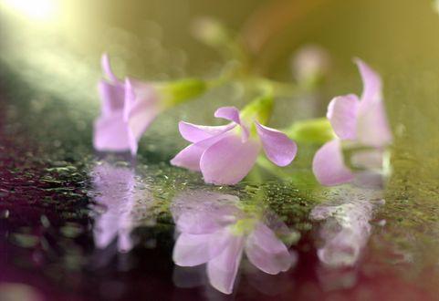 Обои Розовые цветы и их отражение на мокрой поверхности, фотограф Sonata Zemgulienе
