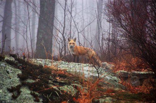 Обои Лисица в туманном лесу