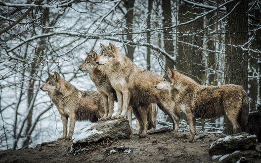 Обои Стая волков на фоне заснеженного леса