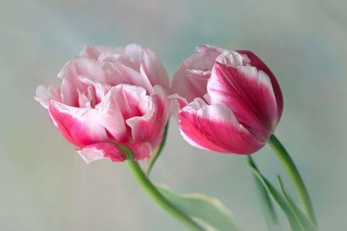 Обои Два красивых тюльпана, фотограф Sonata Zemgulienе