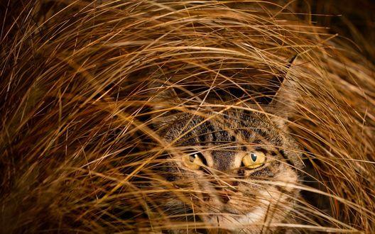 Обои Полосатый серый кот прячется в высокой сухой траве