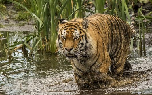 Обои Тигр бредет среди камышей по болоту
