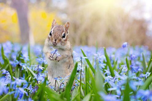 Обои Бурундук на цветочном поле