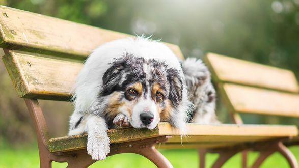 Обои Собака породы австралийская овчарка лежит на лавке, размытый фон
