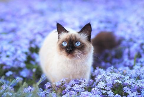 Обои Сиамская кошка на цветочном поле