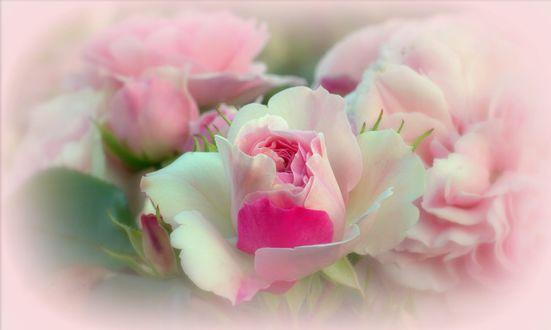Обои Нежные розы на размытом фоне, фотограф Sonata Zemgulienе
