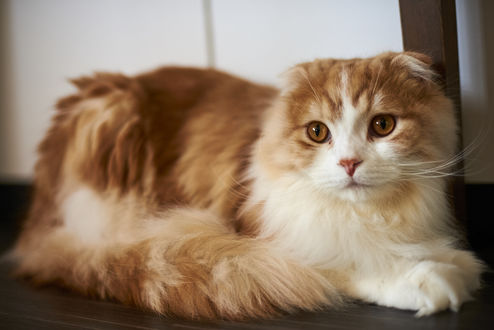 Обои Вислоухая бело-рыжая кошка лежит на полу, by NEKOFighter