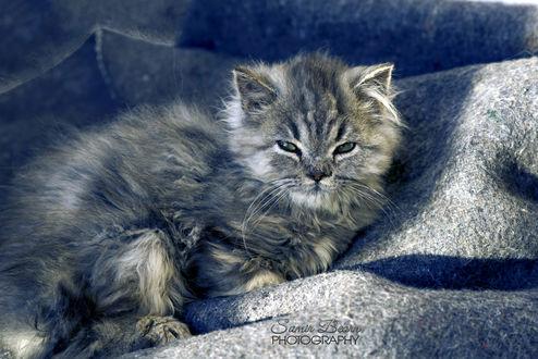 Обои Лежащий на покрывале пушистый котенок, by Samir Photography
