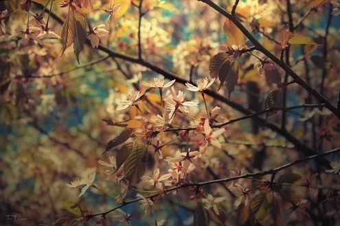 Обои Цветущая вишня, by Pajunen