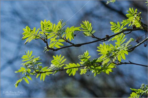 Обои На ветках первые зеленые листочки, фотограф иерм. Виталий