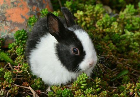 Обои Черно-белый крольчонок в зеленой траве, на размытом фоне