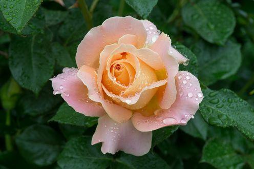 Обои Нежно-розовая роза в каплях воды