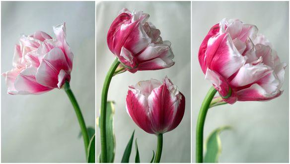 Обои Бело-розовые тюльпаны, фотограф Sonata Zemgulienе