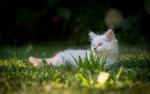 Обои Котенок в траве