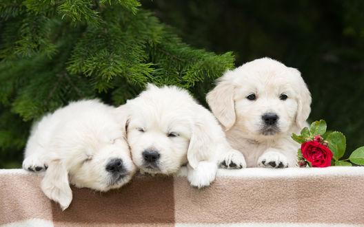 Обои Три белых щенка у ели