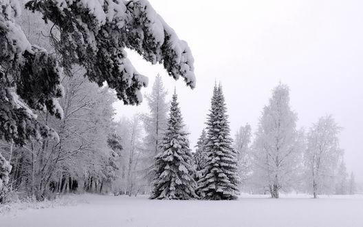 Обои Зимний смешанный лес в снегу