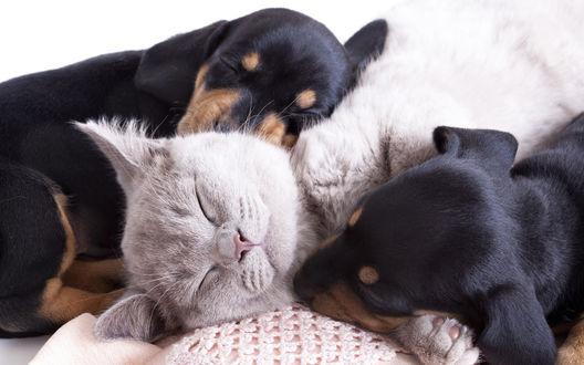 Обои Два щенка таксы спят вместе со пепельно-серым котом