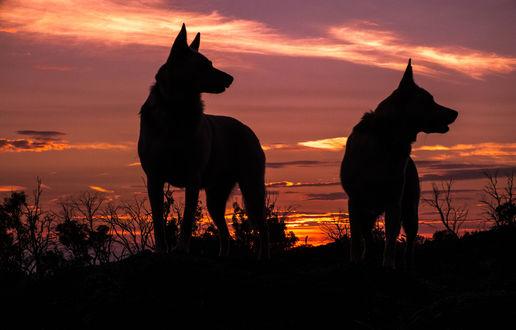 Обои Силуэты двух собак на фоне закатного неба