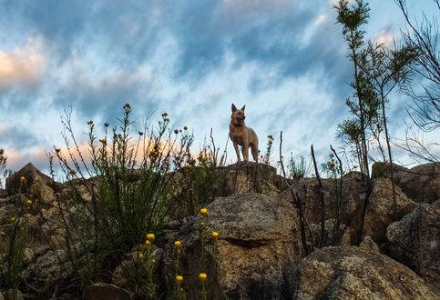 Обои Собака, на мгновение застывшая на скалах на фоне неба, цветов и кустов