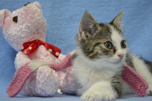 Обои Котенок лежит рядом с плюшевым мишкой