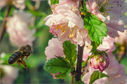 Обои Пчела подлетает к цветущей весенней ветке, фотограф Optina