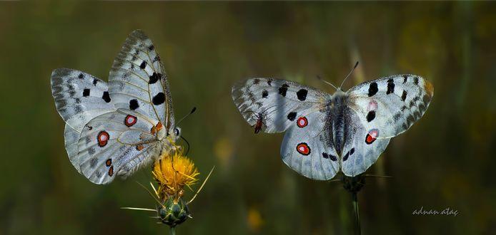 Обои Бабочки сидят на цветке, фотограф ADNAN ATAС