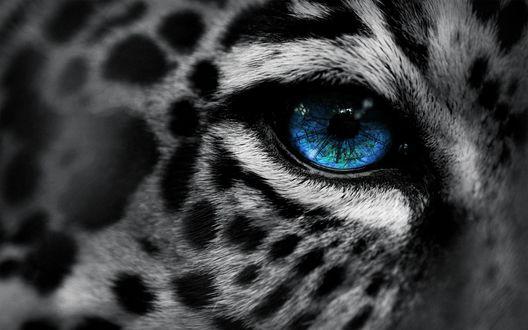 Обои Голубой глаз леопарда