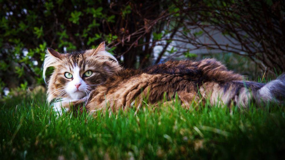 Обои для рабочего стола Пушистая кошка в траве